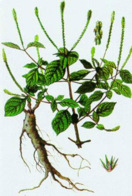 Bài thuốc dân gian từ cây cỏ xước