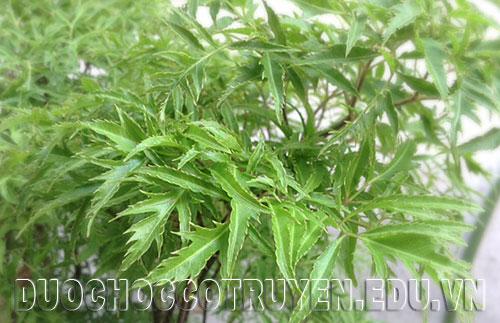 Đinh lăng cây thuốc quý tăng cường sinh lực