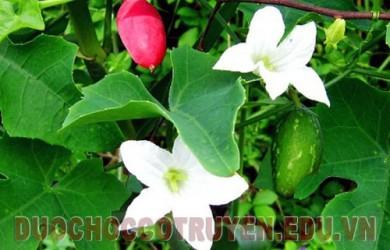 Dây bát cây thuốc quý giải nhiệt trị tiểu đường