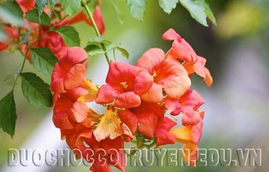 Dược học cổ truyền bài thuốc chữa đau xương từ hoa lan tiêu