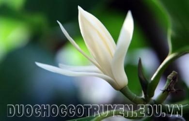 Hoa ngọc lan cây thuốc quý chữa bệnh