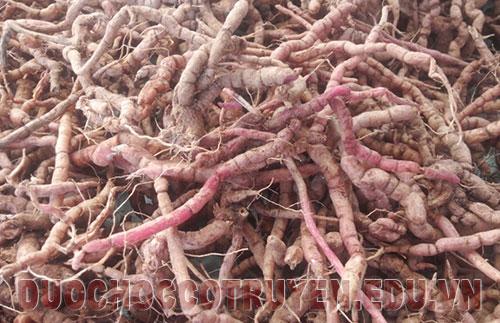 Rễ cây ba kích Đông Y dùng làm thuốc