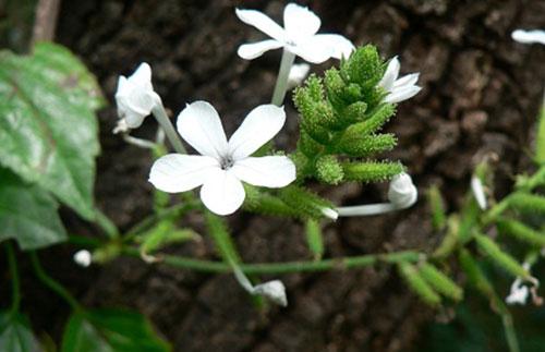 Cây bạch hoa xà giải độc tiêu thũng