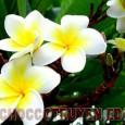 Bài thuốc dân gian chữa bệnh nhức răng, cao huyết áp, bong gân từ hoa đại