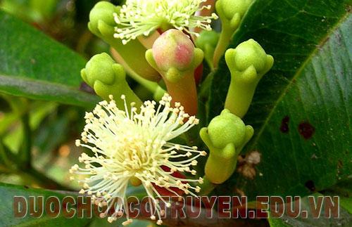Bài thuốc dân gian chữa đau nhức xương khớp từ cây đinh hương