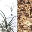 Bài thuốc Đông Y từ cỏ cú chữa tiêu hoá kém