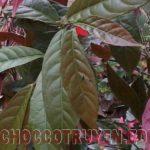 Bài thuốc Đông Y trị mụn nhọt hiệu quả từ cây đơn đỏ