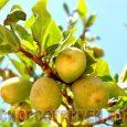 Bài thuốc Đông Y chữa bệnh từ cây trâu cổ