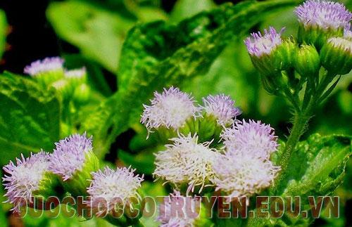 Bài thuốc Đông Y điều trị viêm xoang từ hoa ngũ sắc