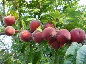công năng dược liệu của cây và quả hạt của đào