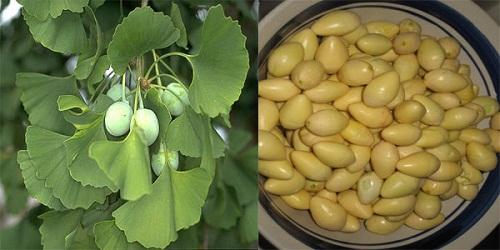 Trái bạch quả nấu chín với hạt bí đao có tác dụng chữa chứng tiểu đêm hiệu quả.