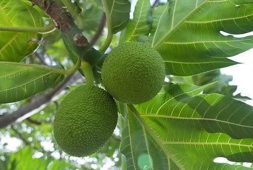 Bật mí 10 công dụng chữa bệnh của cây sa kê - 2