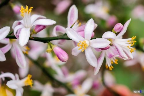 Hoa bưởi và hoa chanh cũng là một trong những thảo dược làm đẹp da