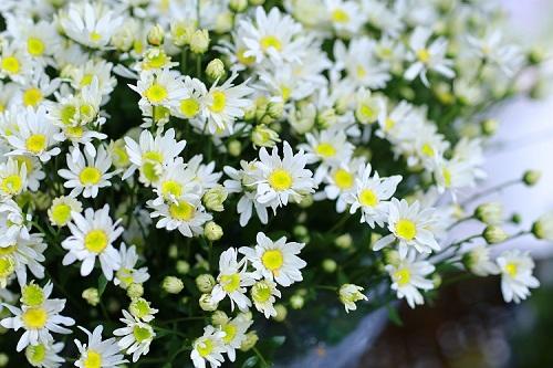 Hoa cúc được phân theo 2 dạng hoa đơn và hoa kép