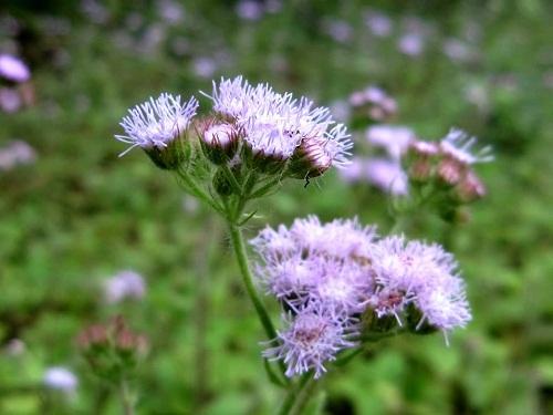 Chữa viêm mũi dị ứng bằng hoa ngũ sắc