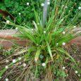Bài thuốc từ cỏ đuôi công (1)