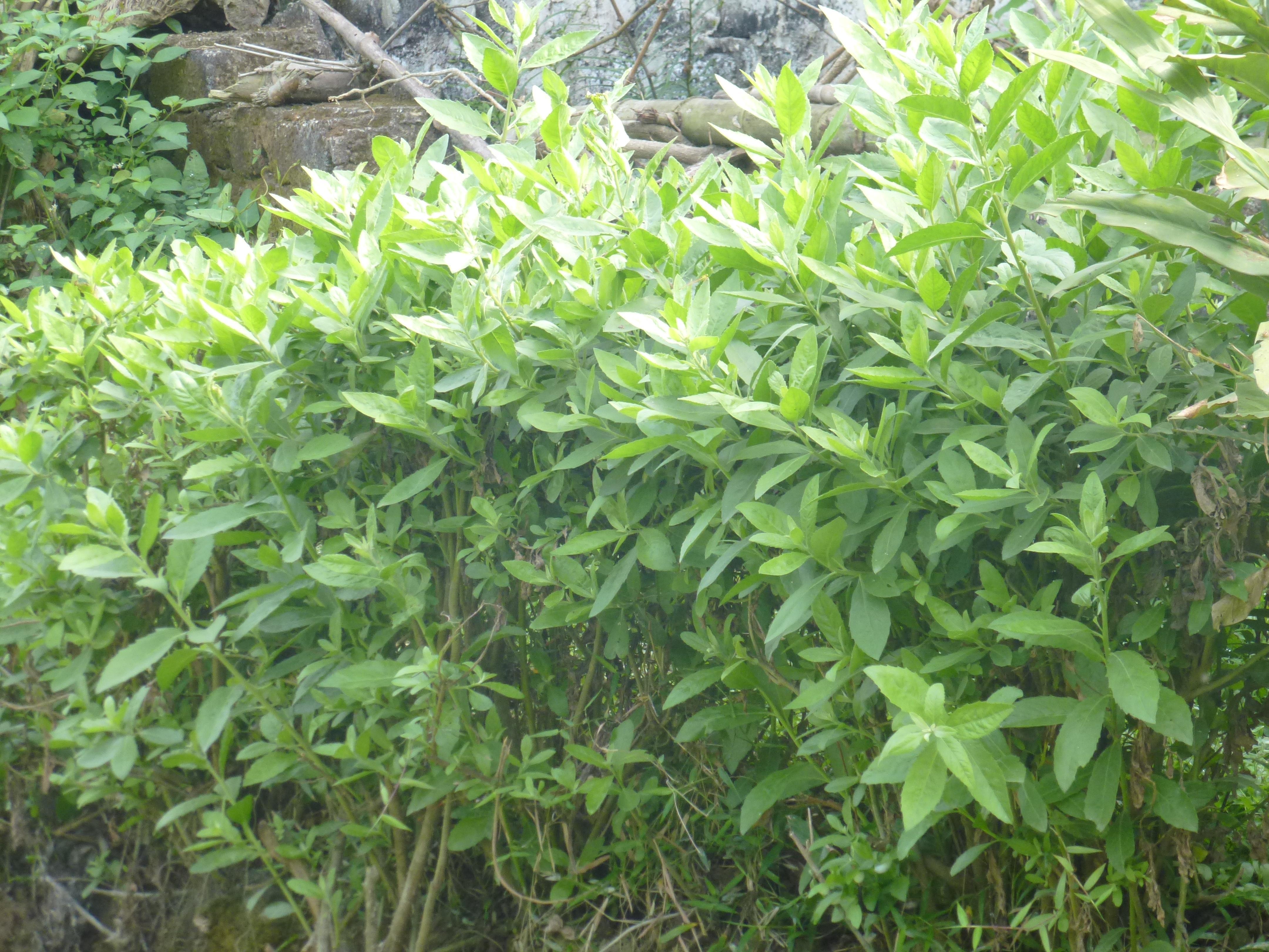 Cúc tần thường mọc hoang phân bố khắp nước ta