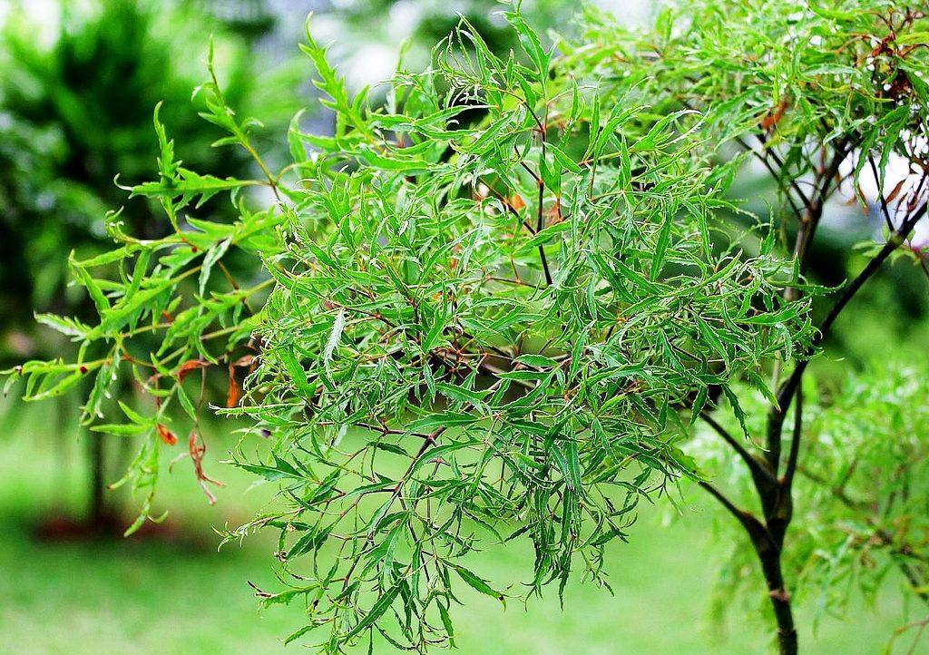 Những tác dụng của cây đinh lăng đối với sức khỏe bạn nên biết