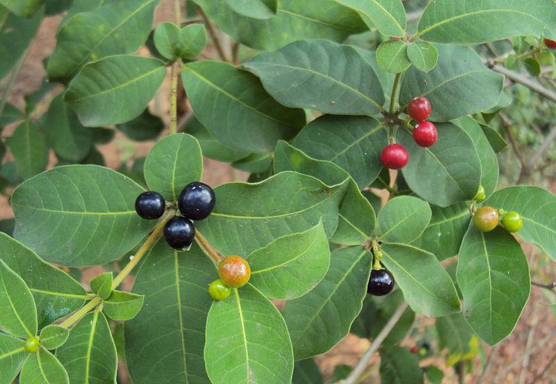 Bật mí một số công dụng chữa bệnh của cây Ba gạc