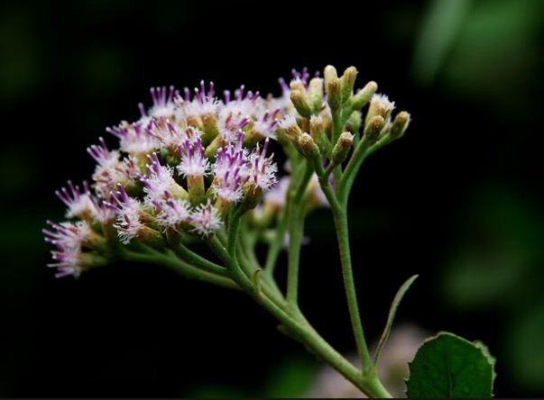 Cúc tần được vận dụng vào nhiều bài thuốc chữa bệnh