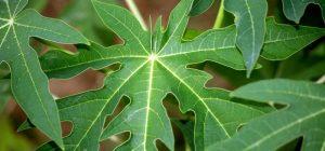 Những tác dụng kỳ diệu của lá đu đủ mà nhiều người không biết