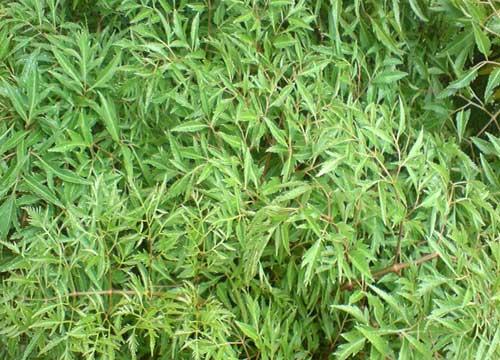 Một số bài thuốc dân gian từ cây đinh lăng