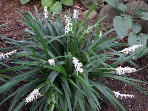 Mạch môn là một loại thảo dược chủ yếu mọc hoang