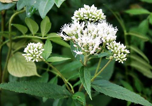 Bài thuốc đông y từ cây trạch lan