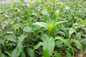 Bài thuốc dân gian đến từ rau bầu đất