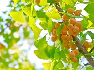 Các bài thuốc dân gian được làm từ cây bạch quả
