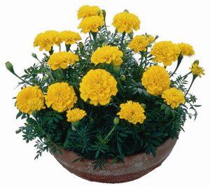 Thành phần dược lý có trong hoa cúc vạn thọ
