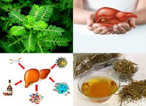 Tổng hợp những bài thuốc Dược học cổ truyền điều trị gan nhiễm mỡ hiệu quả