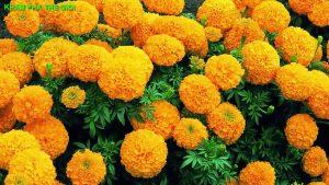 Hoa cúc vạn thọ có khả năng phòng chống ung thư và kháng virus HIV