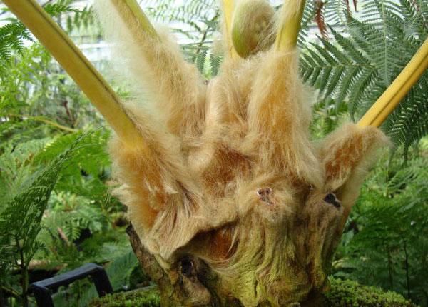 Phần lông vàng bao phủ xung quanh cây Cẩu tích