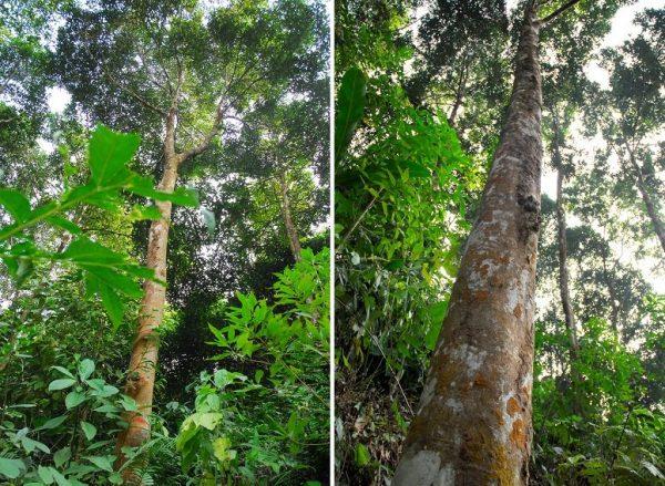 Đặc điểm của cây quế