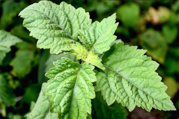 Hoắc hương hay mọc hoang hoặc được trồng để làm thuốc