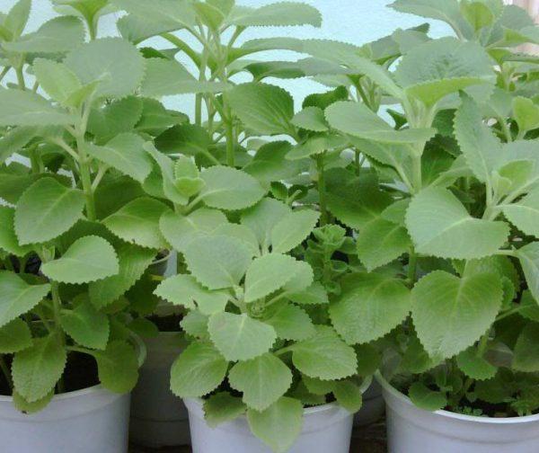Húng chanh là một loại cây thảo thường mọc hoang hay được trồng nhiều ở nước ta