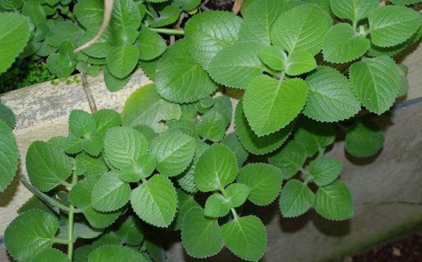 Bật mí công dụng chữa bệnh hữu ích từ cây Húng Chanh