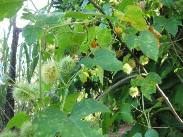 Dùng cây Chùm Bao chữa bệnh, liệu bạn có biết?