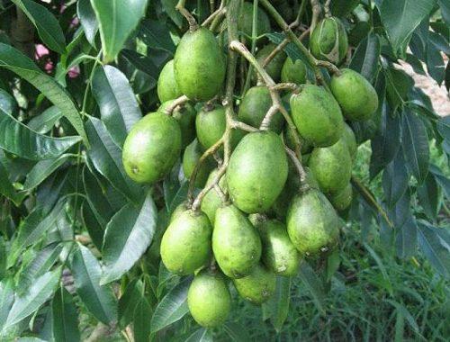 Cóc là cây ăn quả phổ biến ở nước ta