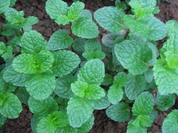 Bạc Hà được trồng nhiều ở nước ta