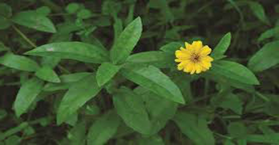 Sài Đất được áp dụng trong nhiều bài thuốc trị bệnh