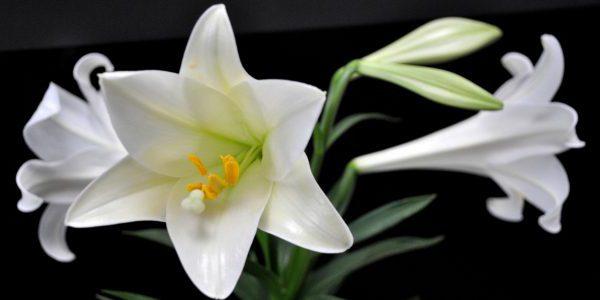 Hoa bách hợp được sử dụng trong nhiều bài thuốc chữa bệnh