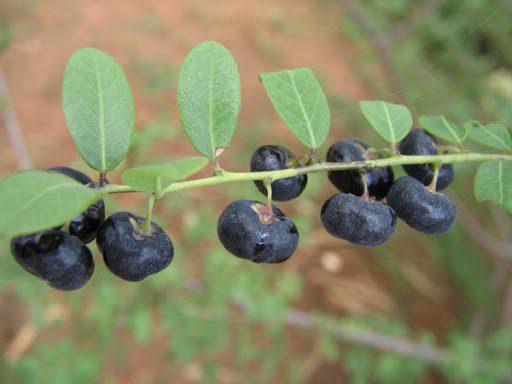 Cây Mực được sử dụng trong nhiều bài thuốc trị bệnh