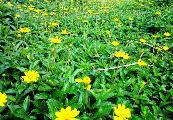 Sài đất hay xuất hiện ở những nơi ẩm mát