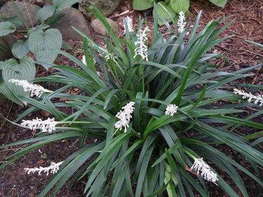 Mạch môn mọc hoang và được trồng ở nhiều ở nước ta