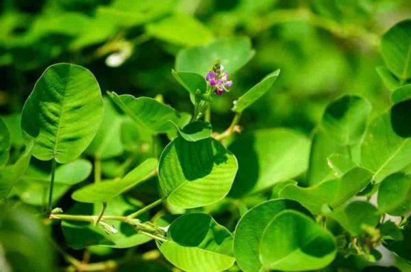 Kim tiền thảo được trồng nhiều ở nước ta