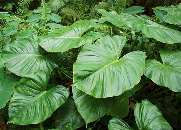 Thiên Niên Kiện mọc hoang hay được trồng nhiều ở nước ta