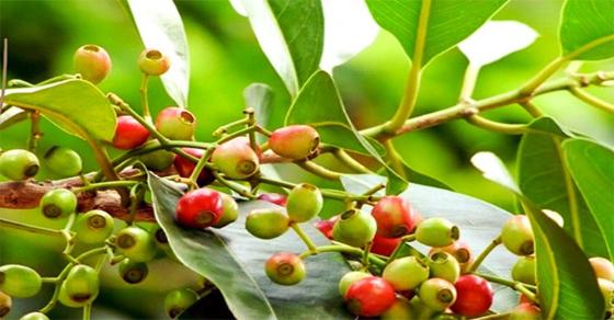 Chia sẻ công dụng trị bệnh từ cây Lá Vối