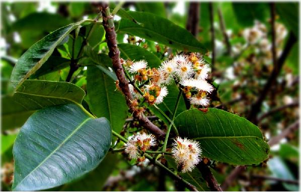 Lá Vối thường mọc hoang hay trồng nhiều ở nước ta